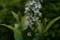 「オカトラノオ(岡虎の尾)」の花(21.7.1)