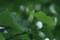 結実し始めた「ユリノキ(百合の木)」(21.7.1)