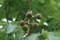 結実した「トチの木」。(21.7.1)
