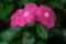 雨に濡れた「日々草の花」(21.7.4)