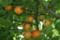 熟した「紅浅間」杏(21.7.7)
