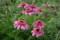田んぼの「エキナセア」の花(21.7.8)