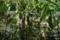 茎が枯れはじめた「ジャガイモ」(21.7.10)