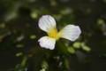 「ミズオオバコ(水車前草)」の花(21.7.29)
