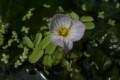 根付いて、花を咲かせた「ミズオオバコ(水車前草)」(21.8.4