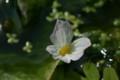 「ミズオオバコ」の花(21.8.20)