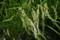 稲穂、雀の食害痕(21.8.21)