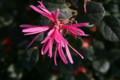 「ベニバナノトキワマンサク」の花(21.10.18)