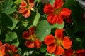 「ナスタチウム」の花と葉。(21.10.23)