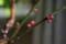 「紅梅」の蕾(21.12.28)