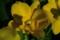 鮮やかな黄色の「カトレア」の花(21.12.29)