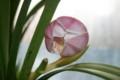 「シンビジウム・インザムード」の開花(22.1.1)