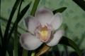 「シンビジウム・インザムード」の開花(22.1.3)
