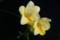 「フリージア」の花のつくり(22.2.1)