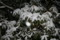 シャクナゲの葉に、春型の雪が…。(22.2.1)