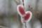 ふくらみ始めた「ピンク猫柳」の花穂。(22.2.17)