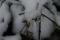 雪を被った「オウバイ(黄梅)」の蕾(22.3.7)