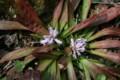 咲き始めた「ショウジョウバカマ」の花(22.3.28)