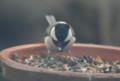 餌台のヒマワリ種子を啄む「シジュウカラ」(22.4.7)