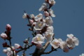 平和種の「アンズ(杏)」の開花(22.4.13)