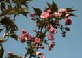 連日の暖かさで、花開いた「サトザクラ(里桜)」(22.5.6)