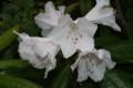 植えてから初めて咲いた「アカボシ(赤星)シャクナゲ」の花。(22