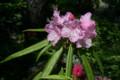 見頃になった「ホソバ(細葉)シャクナゲ」の花。(22.5.18)