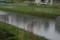 水田に、「鴨のつがい」が…。