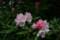 雨上がり、咲き始めた「ヤクシマシャクナゲ(屋久島石楠花)」の花。