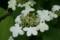 夏近しを思わせる「ヤブデマリ(薮手毬)」の花。(22.5.20)
