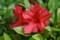 二重咲きの「クルメツツジ」(22.5.21)