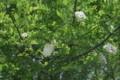 咲き始めた「ニセアカシア」の花。(22.6.6)