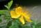 横から見た「ビヨウヤナギ(未央柳)」の花。(22.6.22)