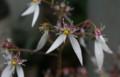 雨に濡れた「ユキノシタ」。(22.6.29)