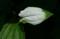 「ハンゲショウ(半化粧)」の葉。(22.7.2)