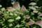 紅葉の兆しを見せる「ナツハゼ(夏櫨)」の葉。(22.7.4)