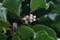 サルナシ(猿梨)」と思われる花。(22.7.10)