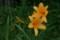 榛名山の「ニッコウキスゲ」(22.7.10)