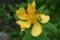 咲き始めた「トモエソウ(巴草)」(22.7.11)
