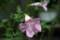 「インカビレア」の花。(22.7.10)