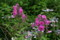 早くも咲き始めた「クサキョウチクトウ」の花。(22.7.13)
