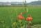 休耕田の「盆花」。(22.8.1)