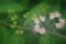 「コムラサキシキブ・コシキブ」の花と実。(22.8.2)