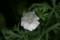 白くて可愛い「ジャコウアオイ(麝香葵)」の花。(22.8.2)