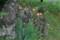 「ヒオウギ(檜扇)」の花。(22.8.3)
