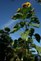 我が家の庭のシンボル、「ヒマワリ」。(22.8.5)