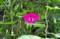 アサガオの花に潜る「コマルハナバチ」(22.8.9)