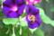 花粉集めをする「コマルハナバチ」。(22.8.9)