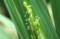 バケツ稲の「イネの花」。(22.8.12)