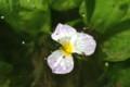 「ミズオオバコ」の花に群がる小さな虫。(22.8.21)